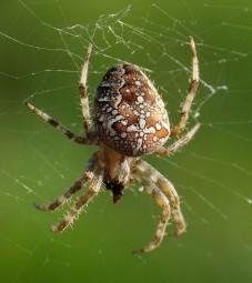 Spinnen im Haus! Gibt es gefährliche Spinnen bei uns in Deutschland?