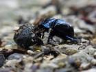 mistkaefer-insektenstop1