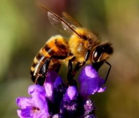 Eines der wichtigsten Insekten weltweit – die Biene