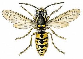 Insekt des Monats - Wespe