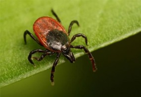 Insekt des Monats - Zecke