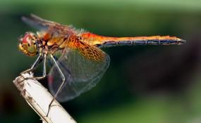 Sie schwebt majestätisch in der Luft - die Libelle