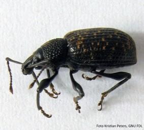 """Käfer mit """"großem Mundwerk"""" - Der Dickmaulrüssler"""