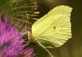 Eines der ersten aktiven Insekten des Jahres - der Zitronenfalter