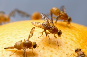 Insekt des Monats - Fruchtfliege